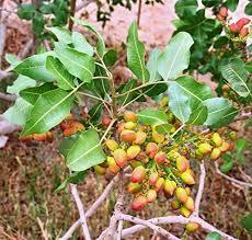 Pista plant