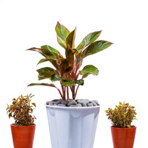 Aglonema red plant