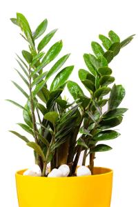 zamia zz plant
