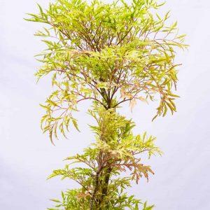 aralia Plant