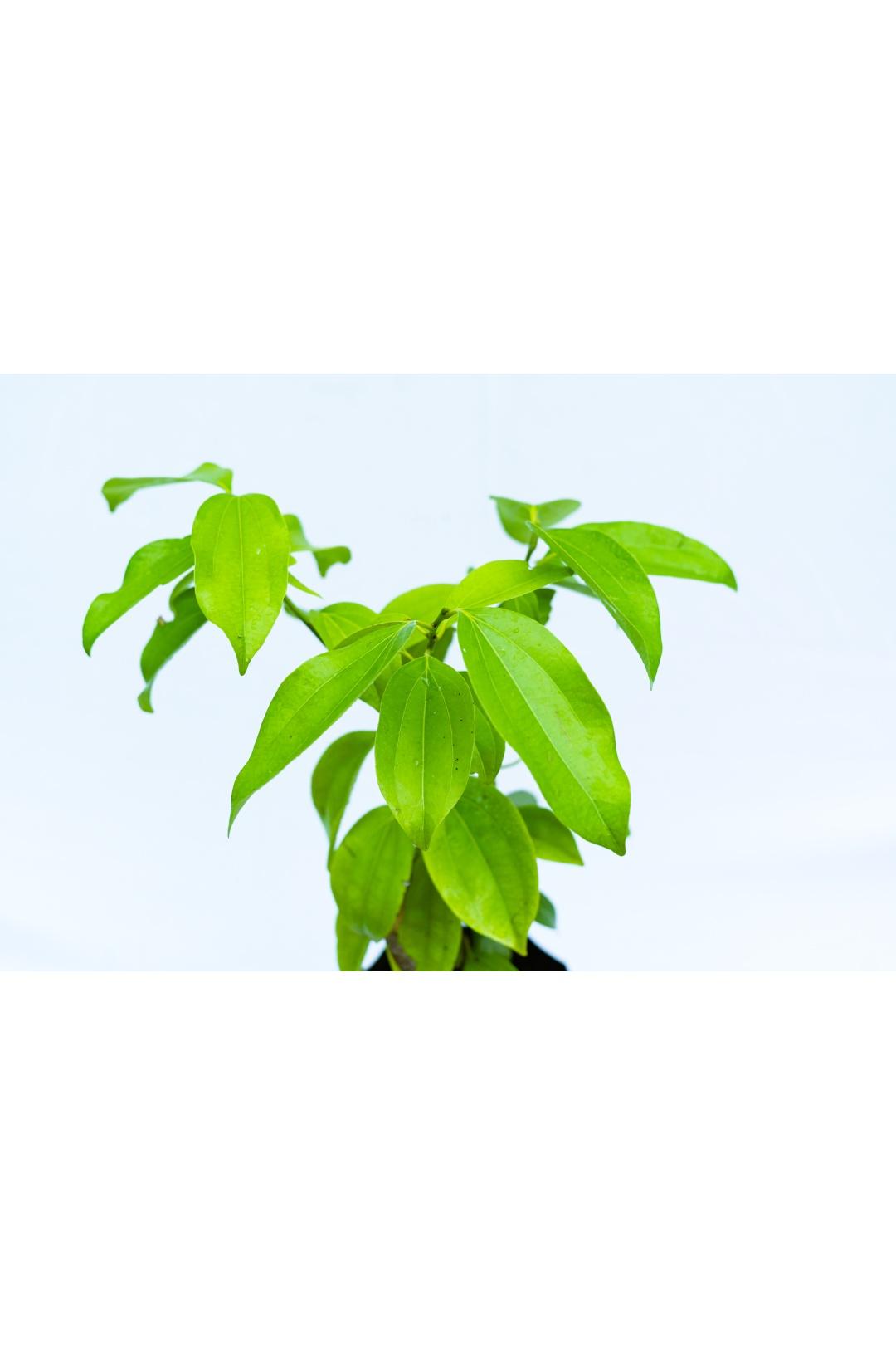 briyani leaf