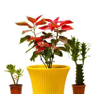 poinsettia_plant