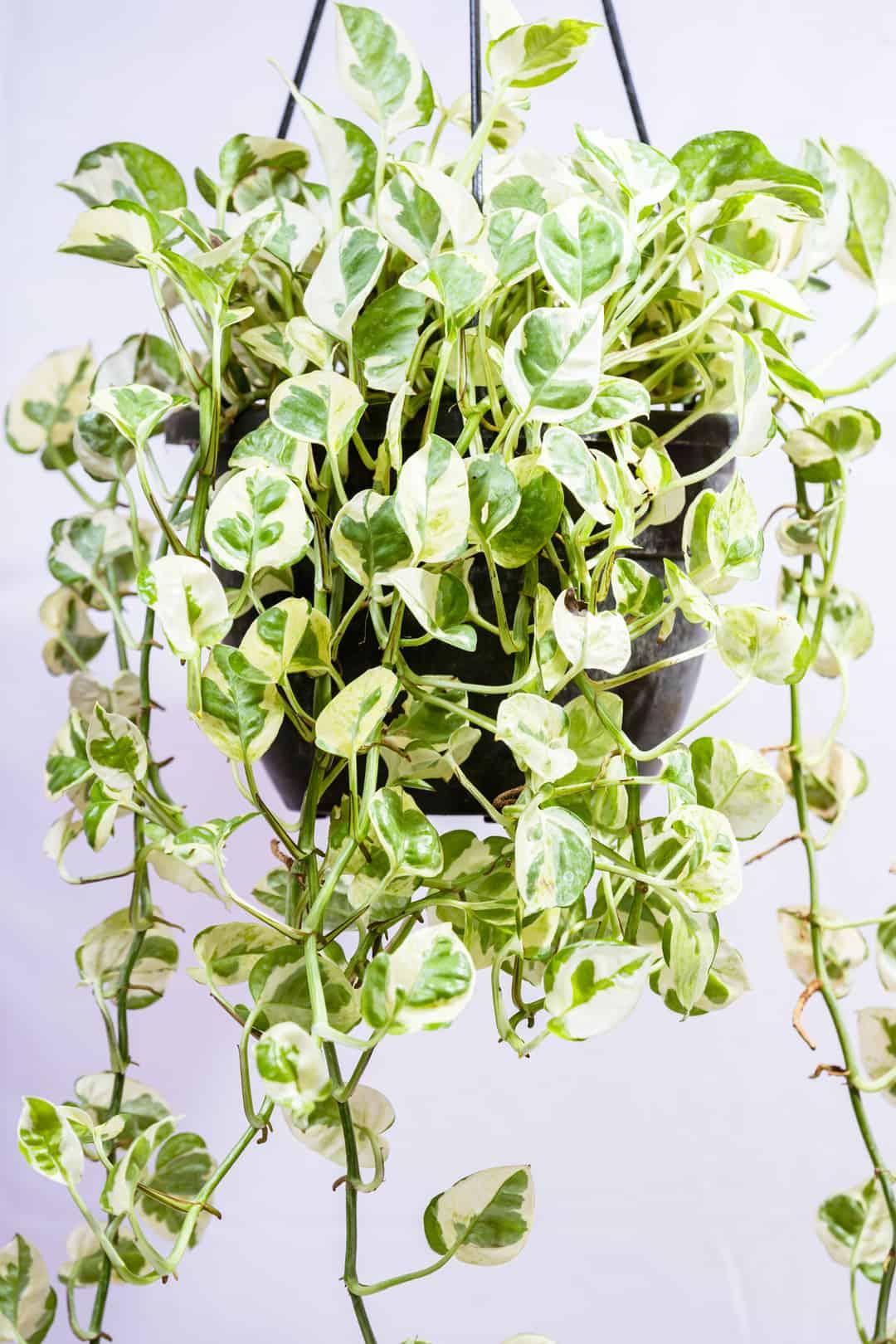 varigated_money_plant