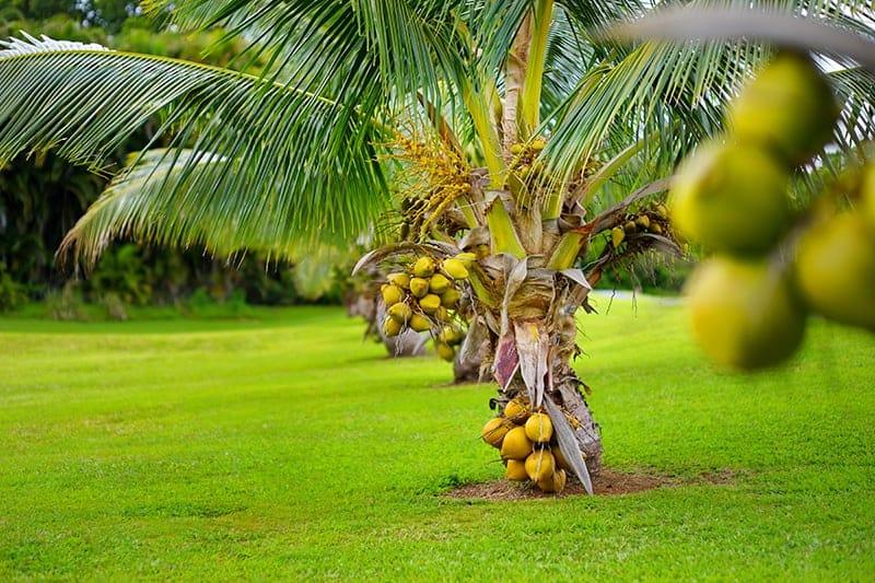 coconut malaysian yellow dwarf