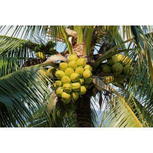 coconut sannangi