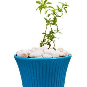 stevia sweet tulasi