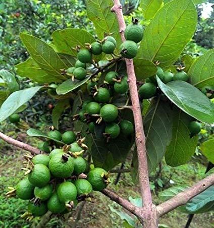 grape guava